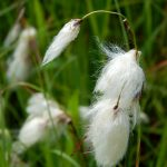 Common Cotton Grass Seed Heads