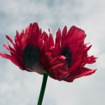 Opium Poppy Flower Close Up