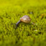 Copse Snail Arianta arbustorum on Moss